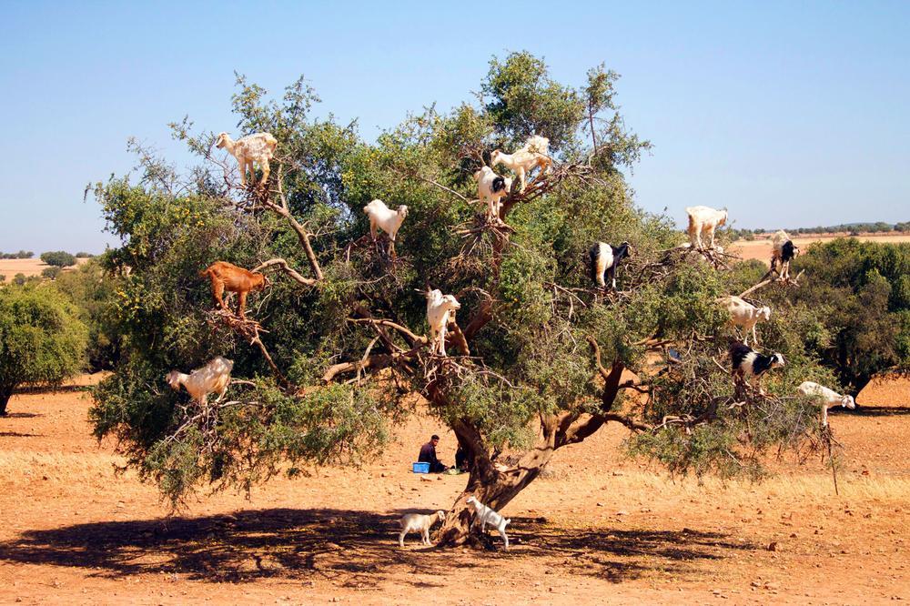 Козлы на аргановом дереве